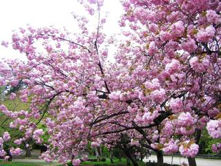弘前城の八重桜.JPG