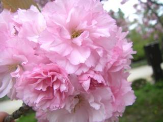 弘前城の八重桜2.JPG