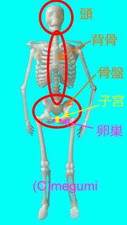 頭と骨盤.png
